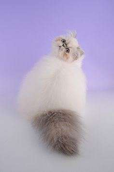 Himalayan Cat by Woozles