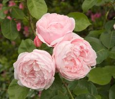 Scents and Sentiment - David Augstin English Rose 'Heritage' | Midwest Living