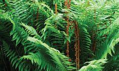 Plant Bugs, Fern Plant, Plant Leaves, Cinnamon Fern, Ostrich Fern, Autumn Display, Low Maintenance Plants, Companion Planting, Shade Garden