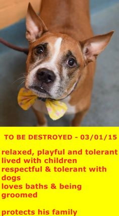 TO BE DESTROYED - 03/01/15 Brooklyn Center -P My name is INDIO. My Animal ID # is A1028136. I am a neutered male brown and white pit bull mix. The shelter thinks I am about 9 YEARS old. I came in the shelter as a OWNER SUR on 02/17/2015 from NY 11231, owner surrender reason stated was OWNER SICK. https://www.facebook.com/photo.php?fbid=969714346374778