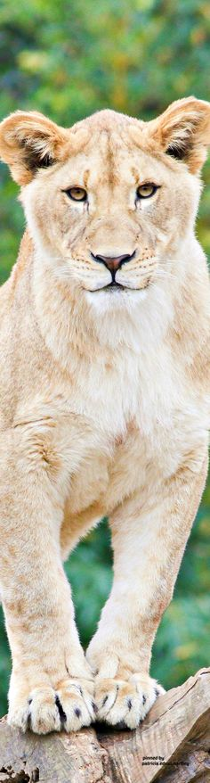 Mark Dumont's albums Animals Of The World, Big Cats, Animal Kingdom, Lions, Pets, Feral Cats, Lion, Animals And Pets