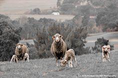 Sheepish Weekend Greetings from ...