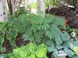Image detail for -... Heucera,primula,bleedign hearts. annebelle hydranga,shade garden