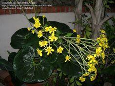 PlantFiles Pictures: Farfugium, Giant Leopard Plant 'Gigantea' (Farfugium japonicum) by Micmalta Leopard Plant, Tractor Seats, Famous Daves, Seeds, Garden, Plants, Pictures, Photos, Garten