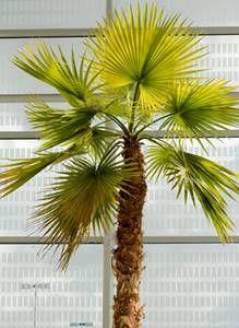 trachycarpus ou palmier chanvre // résistant au froid // en pot ou en terre
