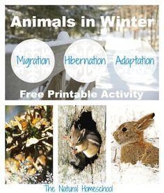 Animals in Winter: Migration, Hibernation & Adaptation {Free Printable}
