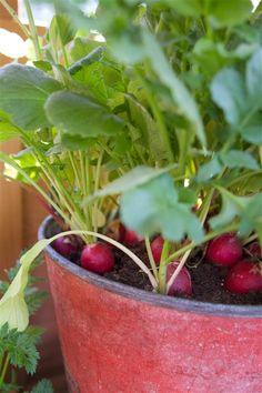 Bra grönsaker att börja odla, samt tips och instruktioner om hur man gör.