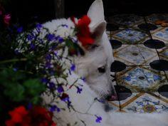White Shepherd amongst the blooms.  Tussen de blomkes.