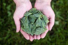 Borovice Listí, Zelená, Ruce