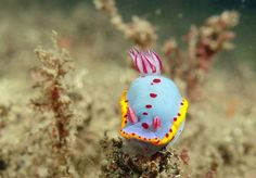 Our photo of the day visits the wacky world of nudibranch sea slugs. Underwater Creatures, Ocean Creatures, Medusa, Beautiful Sea Creatures, Sea Slug, Sea And Ocean, Fish Ocean, Creature Feature, Ocean Life
