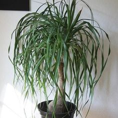 Ponytail Palms are easy and different. Care tips: https://www.houseplant411.com/houseplant/ponytail-palm-bottle-palm-how-to-grow-care-tips