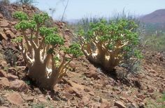 Cyphostemma uter, Habitat Namibia