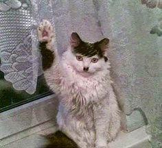 Γάτα χρυσαυγιτης