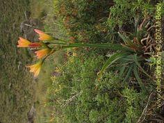 Rhodophiala Araucana | Description and images of Rhodophiala araucana (), a native Chilean ... My Flower, Chile, Nativity, Orchids, Flora, Exotic, Seeds, Product Description, Plants