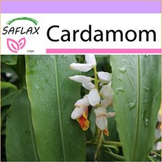 Learn how to grow your own cardamom to add spicy, citrusy flavor to pastries, savory dishes, and refreshing beverages. Read more now on Gardener's Path. Growing Greens, Growing Herbs, Spice Garden, Herb Garden, Tropical Garden, Tropical Plants, Cardamom Plant, Humus Soil, Growing Aloe Vera