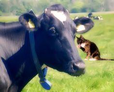 Love Cows :)