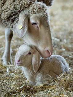 Mom with her little lamb.