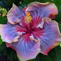 "Hibiscus.   (""'Taiwan Wonderland'."")"