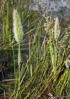 polypogon+monspeliensis | Polypogon monspeliensis (annual rabbit's-foot grass): Go Botany