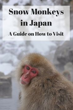 The ultimate guide on how to visit the Japanese snow monkeys at Jigokudani Snow Monkey Park, Japan - when to visit, how to get there, where to stay and...