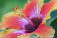 hibiscus - Photograph at BetterPhoto.com