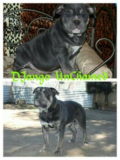 One of a Kind's Django Unchained Make Blue tri (trindle) olde english bulldogge www.oneofakindbulldogs.com