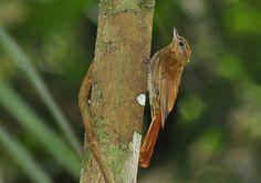 Arapaçu-de-bico-de-cunha (Glyphorynchus spirurus)