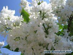 Horticulture, Syringa Vulgaris, Belle Plante, Spring Time, Backyard, Plants, Beautiful, Blossoms, Garden Ideas