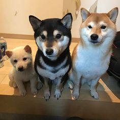 改めまして、コロココロロです! 3柴を宜しくお願いします!!❤️ coro&coco&roro!!! 3shibainus!!! #3柴#コロココロロ#おすわり#柴犬#しばいぬ #しばけん#柴犬マニア#柴犬の世界 #犬#赤柴#黒柴#白柴#しろしば#shibastagram#shibalove#shibainu #whiteshiba#shiroshiba#puppy #puppystagram#puppyboy#puppylove #集合写真#かわいい#かわゆす #犬の赤ちゃん#赤ちゃん #proudshibas @proudshibas @shiba_snap