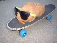 Even a hamster can skateboard better than me Cute Little Animals, Cute Funny Animals, Animal Pictures, Funny Pictures, Pig Showing, Guniea Pig, Baby Guinea Pigs, Animal Memes, Cute Babies