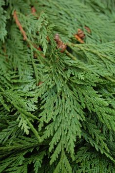 Cedar - Stength use the verse psalms 92:12 with a sprig of cedar for a card