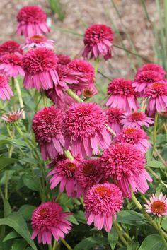 "Echinacea 'Secret Affair' PPAF (Secret Affair Coneflower) Zone: 4a to 9b, Height: 24"" tall Culture: Sun"