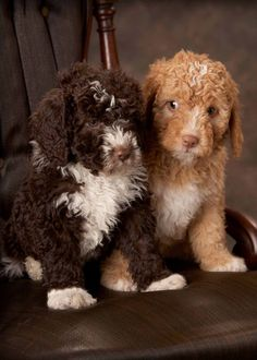 Light brown portuguese water dog - photo#12