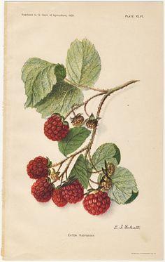 raspberry engravings - Google Search