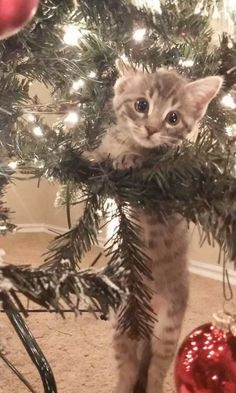 13 Cats Who Are Baffled By The Whole Christmas Tree Thing (Photo: sarahbobera/Reddit)
