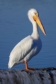 American White Pelican. Was amazed to see my first American white pelicans while driving through Duluth. MN in May 2012.