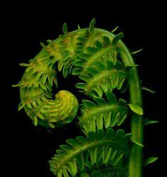 Fiddlehead fern. Photo By Clarisa.
