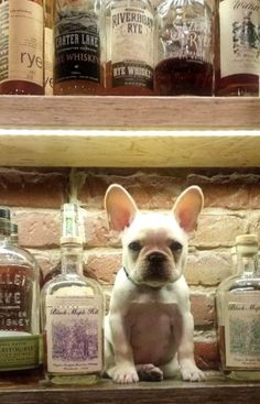 Frenchie & Whiskey, two of my favorite things