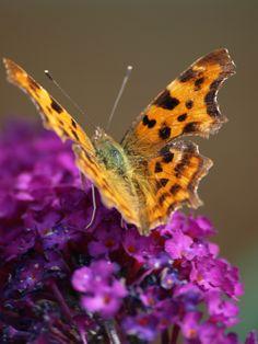 Comma Butterfly - just in my garden