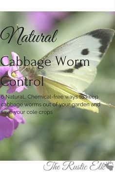 Cabbage butterflies are pretty, but they're destructive. Here are 6 Natural cabbage worm control tips to keep your cole crops safe!