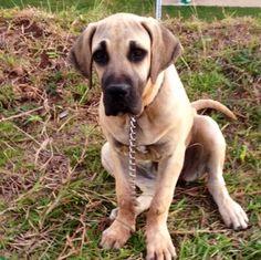 f4f4d558ead 50 beste afbeeldingen van Fila brasileiro - Dogs, Big dogs en Dog breeds