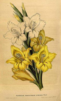 gladiolus gandavensis citrinus - high resolution image from old book.This JPEG image is a high resolution printable scan of an old page (or plate, or engraving, or lithograph) from antique book published before Image August Birth Flower, August Flowers, June Flower, Gladiolas Tattoo, Gladiolus Flower Tattoos, Pencil Drawings Of Flowers, Flower Art Drawing, Fabric Paint Designs, Birth Flowers