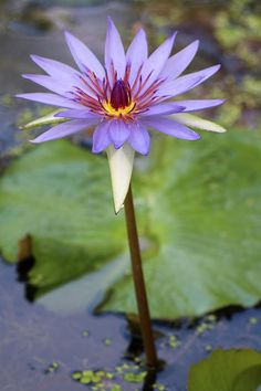 Waterlily Photograph - Poised Perfection by Mary Anne Delgado