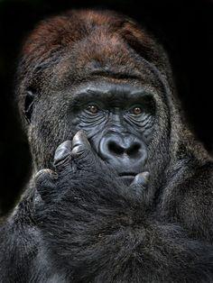 Gorilla Wiseguy by Irawan Subingar Primates, Mammals, Animals And Pets, Funny Animals, Cute Animals, Gorillas In The Mist, Types Of Monkeys, Gorilla Tattoo, Parrots