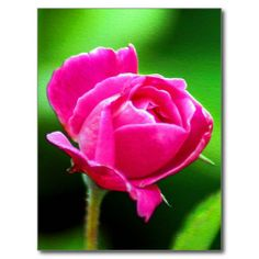 Rosy Pink Post Card