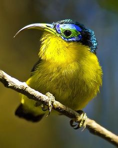 The yellow-bellied sunbird-asity (Neodrepanis hypoxantha) is a small species of passerine bird from the asity family. It is found only in montane rainforests of Madagascar where it feeds on nectar that it sips from flowers. Kinds Of Birds, All Birds, Birds Of Prey, Little Birds, Love Birds, Pretty Birds, Beautiful Birds, Animals Beautiful, Exotic Birds