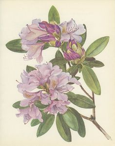 Catawba Pink Rhododendron, Vintage Flower Print, Botanical Plant 93, Country Cottage Decor, 1970 Kaplicka, Cottage Chic, Cottage Wall Decor