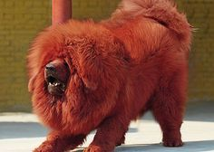 Red Tibetan Mastiff Red mastiff named Big Splash reportedly sold for 10 million yuan ($1.5 million) in 2011, in the most expensive dog sale then recorded.