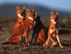 Ethiopian wolves (Canis simensis). As of January 2012, there are less than 500 individuals remaining. Their biggest threats range anywhere from human encroachment to diseases carried by domesticated dogs.