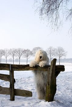 Sheepdog, wooden fence, snow